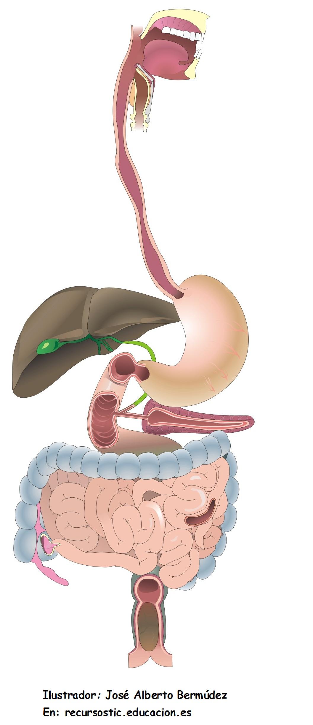 Organos digestivo sin rotular - Currículum en línea. MINEDUC ...