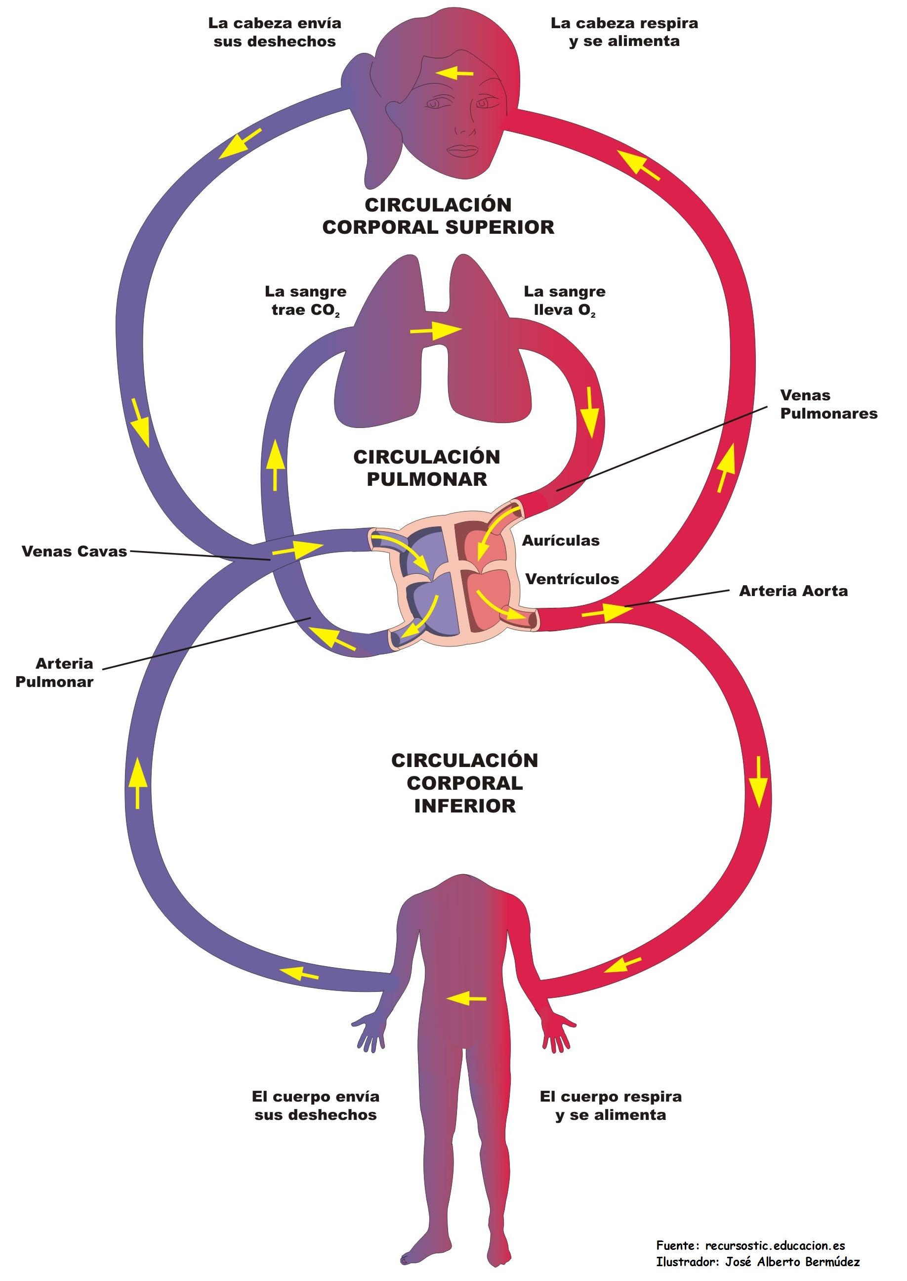 Sistema circulatorio - Currículum en línea. MINEDUC. Gobierno de Chile.