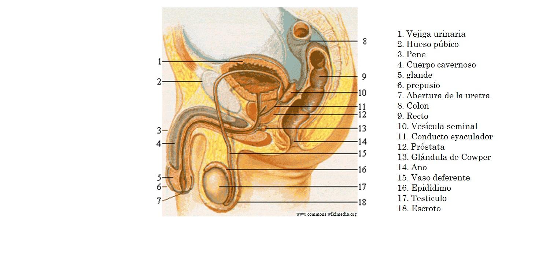 Sistema reproductor masculino - Currículum en línea. MINEDUC ...