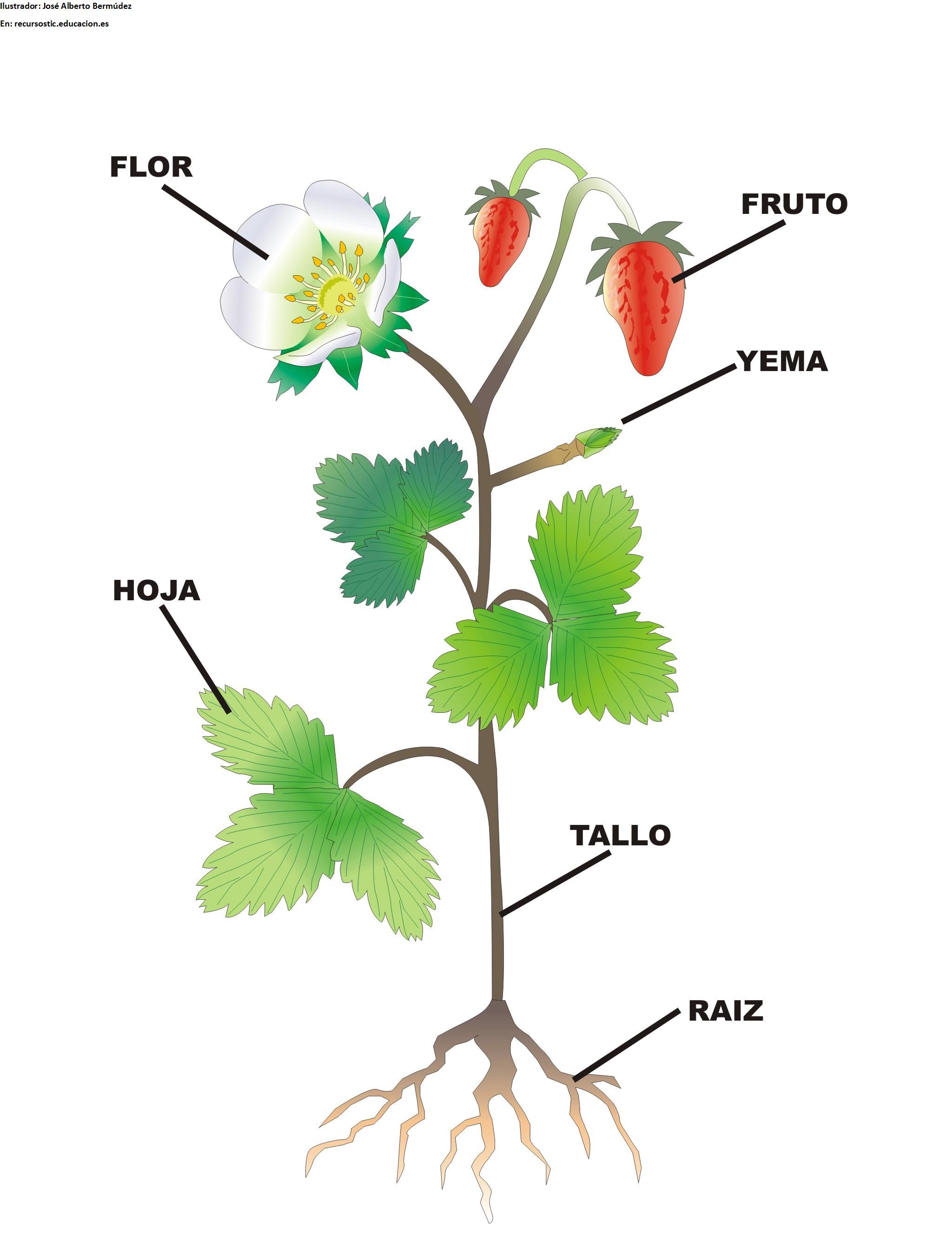 Partes De La Flor Y Su Funcion