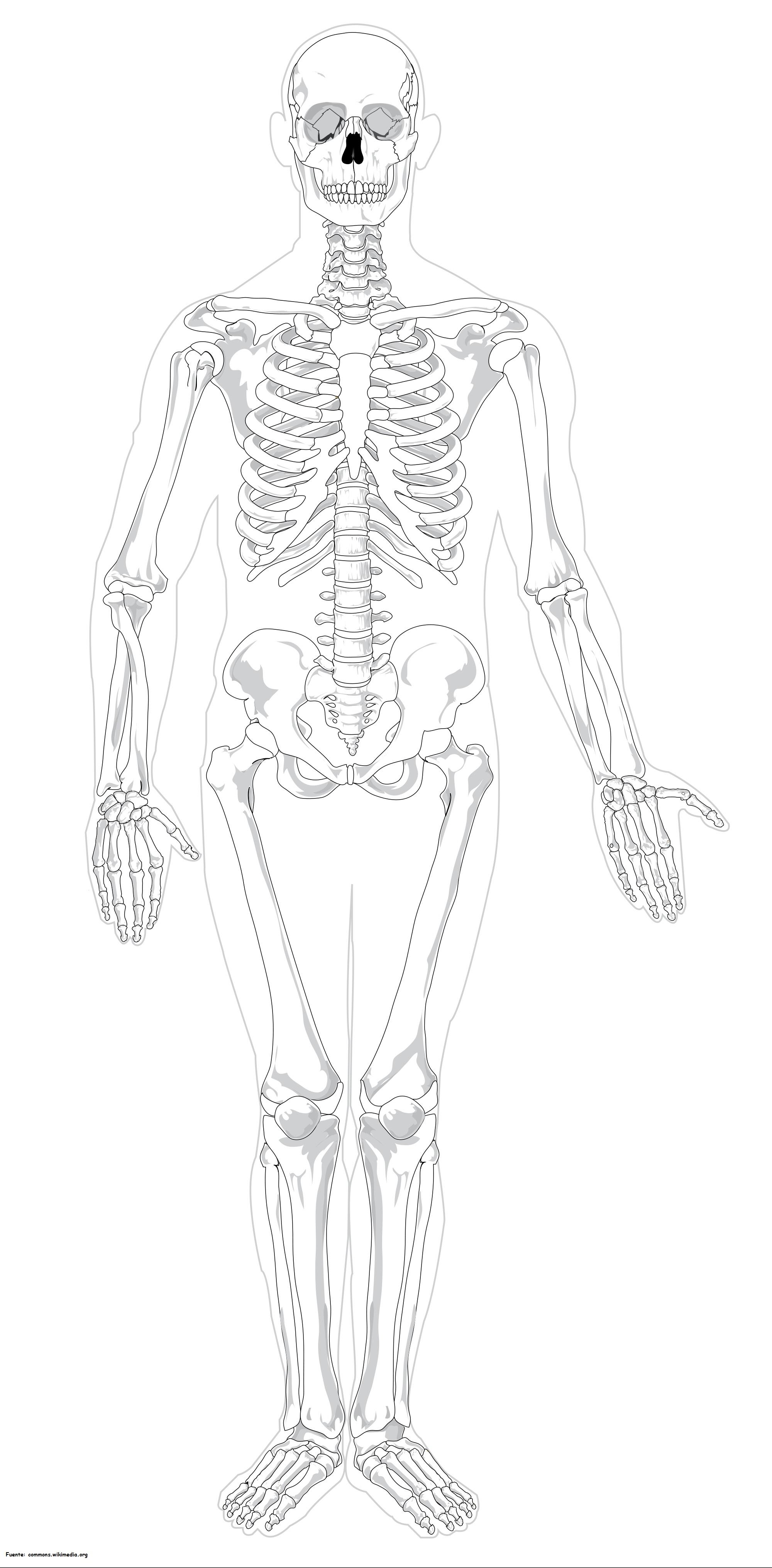 Esqueleto humano para colorear - Currículum en línea. MINEDUC ...