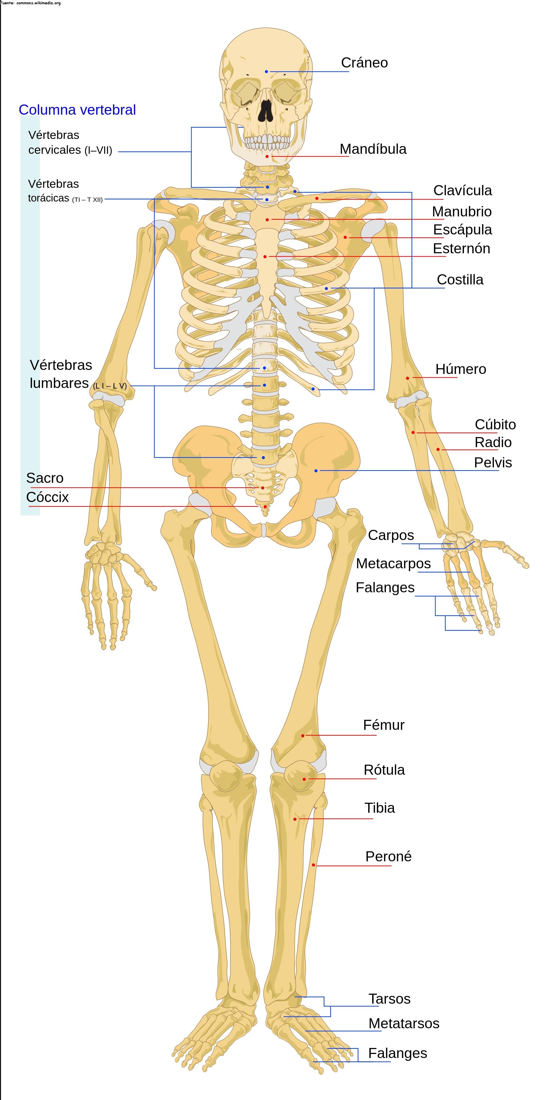 El esqueleto humano rotulado - Currículum en línea. MINEDUC ...