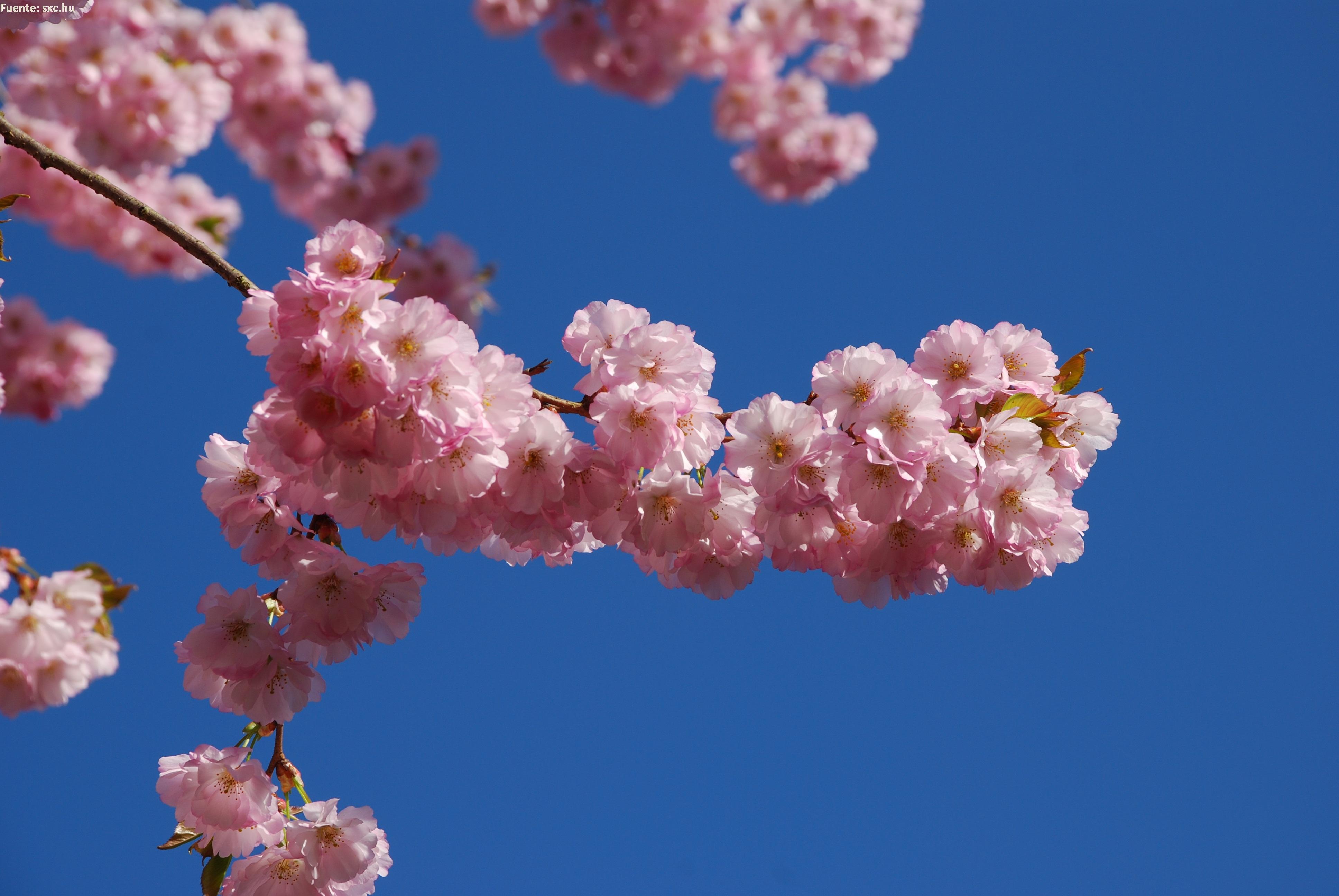 rbol en flores de primavera