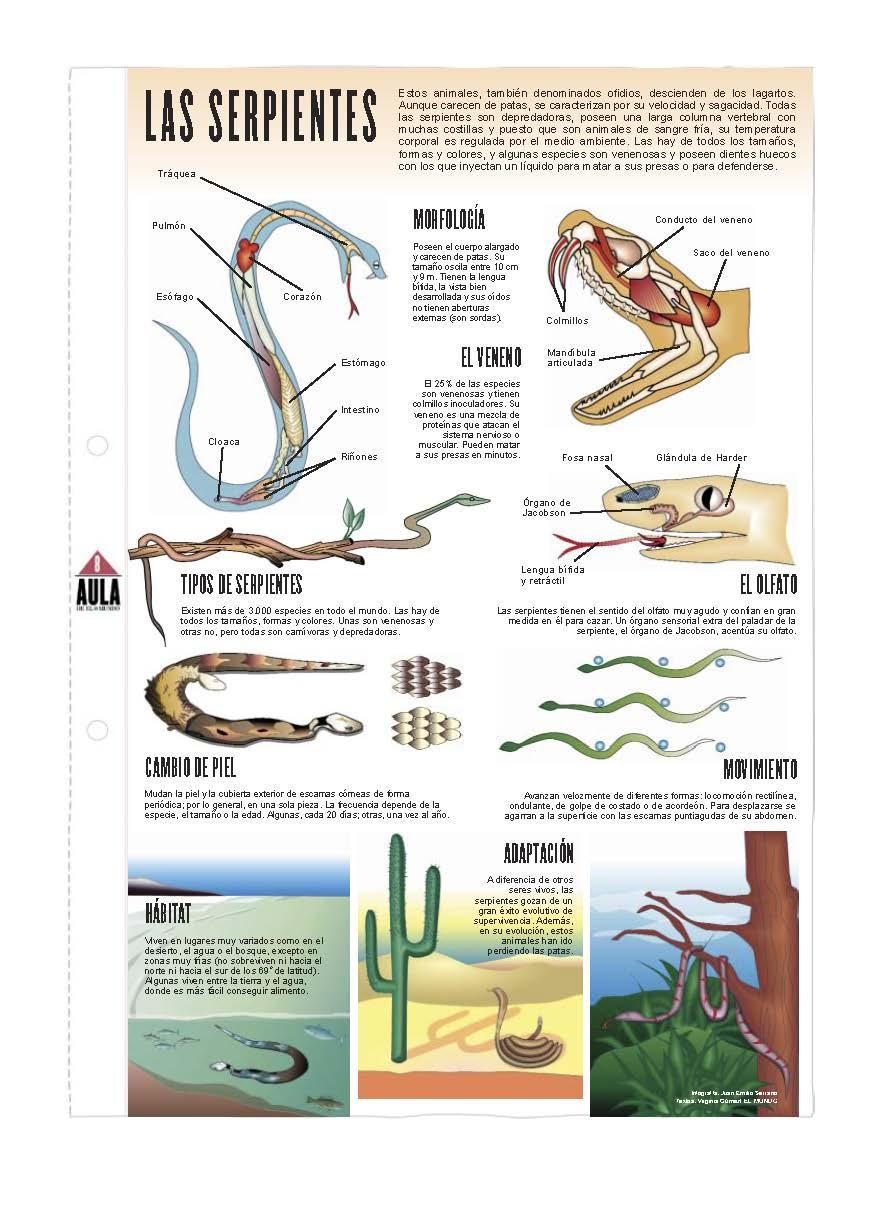 Lujo Ciclo De Vida De Una Hoja De Serpiente Ornamento - hojas de ...