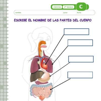 Escribe El Nombre De Los órganos Del Cuerpo Humano Curriculum Nacional Mineduc Chile